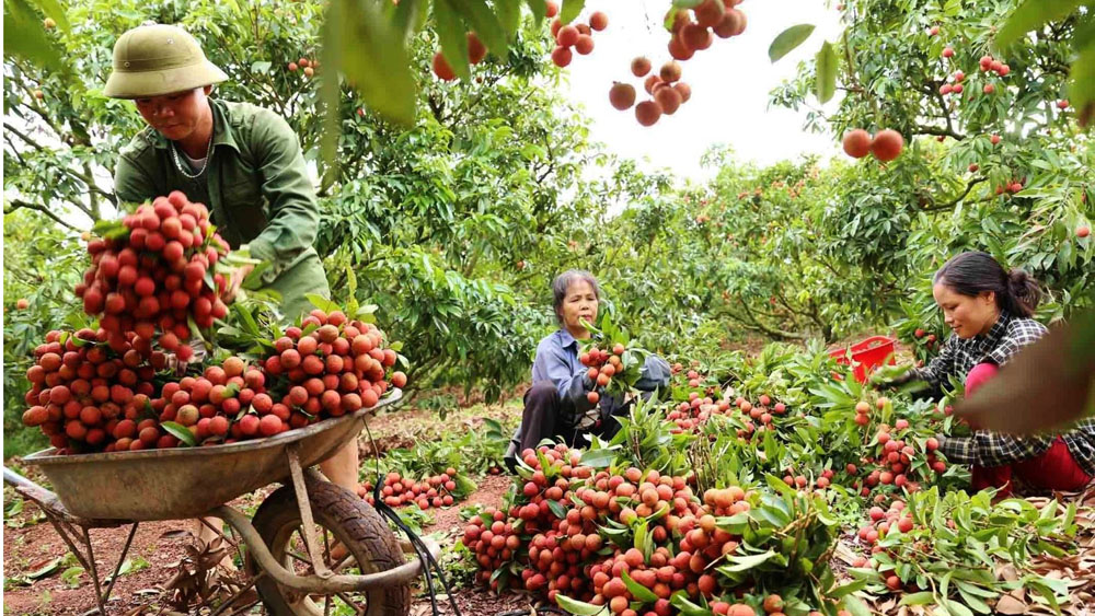 164 Chinese traders quarantined before buying lychee in Bac Giang