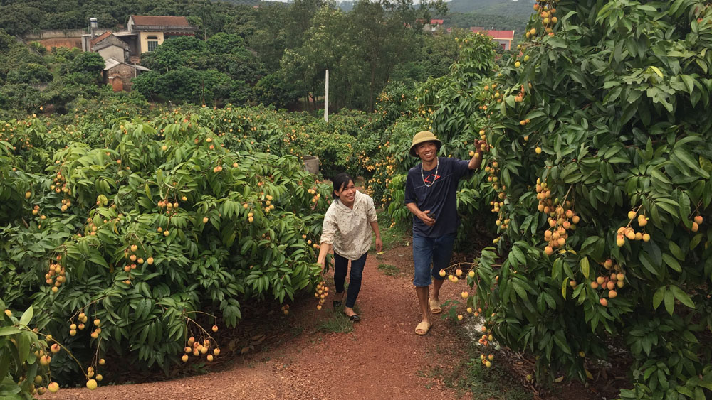Bac Giang well prepares condition for lychee consumption
