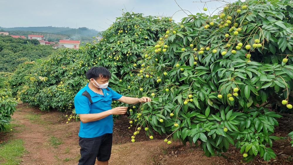 Vùng sản xuất vải sớm GlobalGAP, xã Phúc Hòa (Tân Yên) chuẩn bị được thu hoạch.