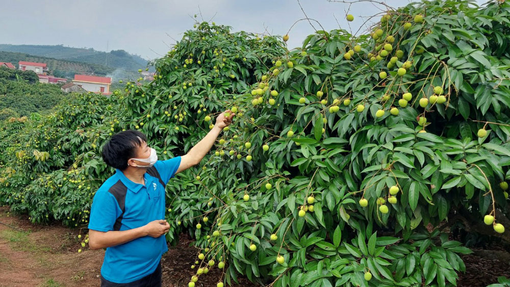 Lychee sale in 2021: Increasing online connections, expanding markets