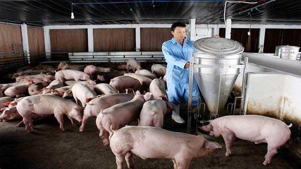 Vì sao, thịt lợn, rớt giá, kỷ lục