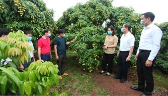 Bắc Giang: Chủ động các biện pháp tiêu thụ vải sớm Tân Yên