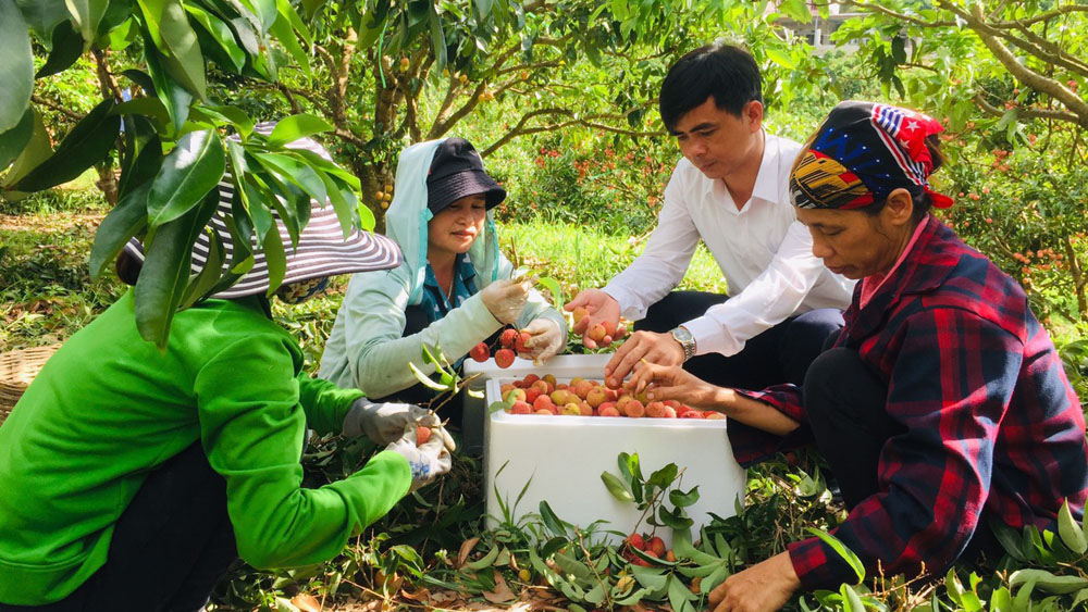 Bac Giang lychees now available on Alibaba e-commerce platform