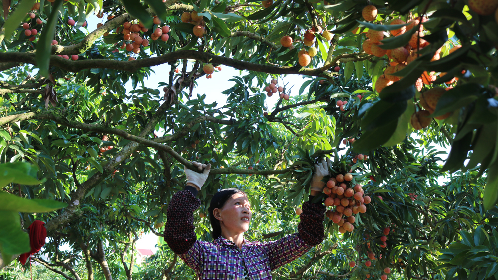 190 Chinese traders, buy Bac Giang lychee, Covid-19 pandemic, prevention and control, Friendship Border gate,  concentrated isolation sites