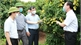 Provincial leader urges to well prepare condition to export Tan Yen lychee to Japan