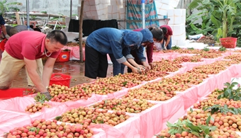 Bac Giang develops three scenarios for lychee consumption