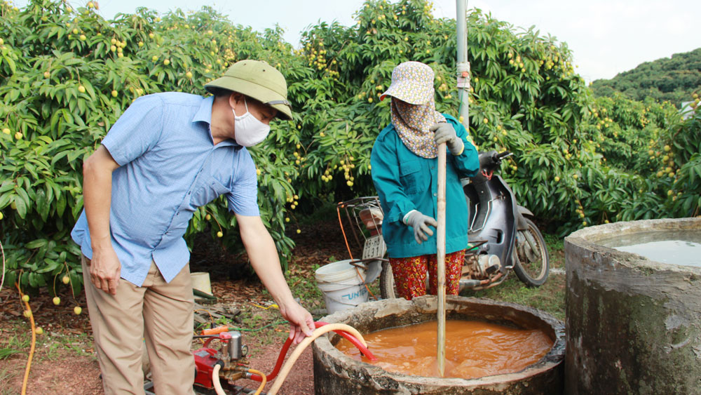Bac Giang province, pandemic prevention, online sale, early ripening lychee, outstanding productivity and quality, harvest season