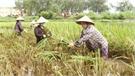Thắm tình mùa gặt