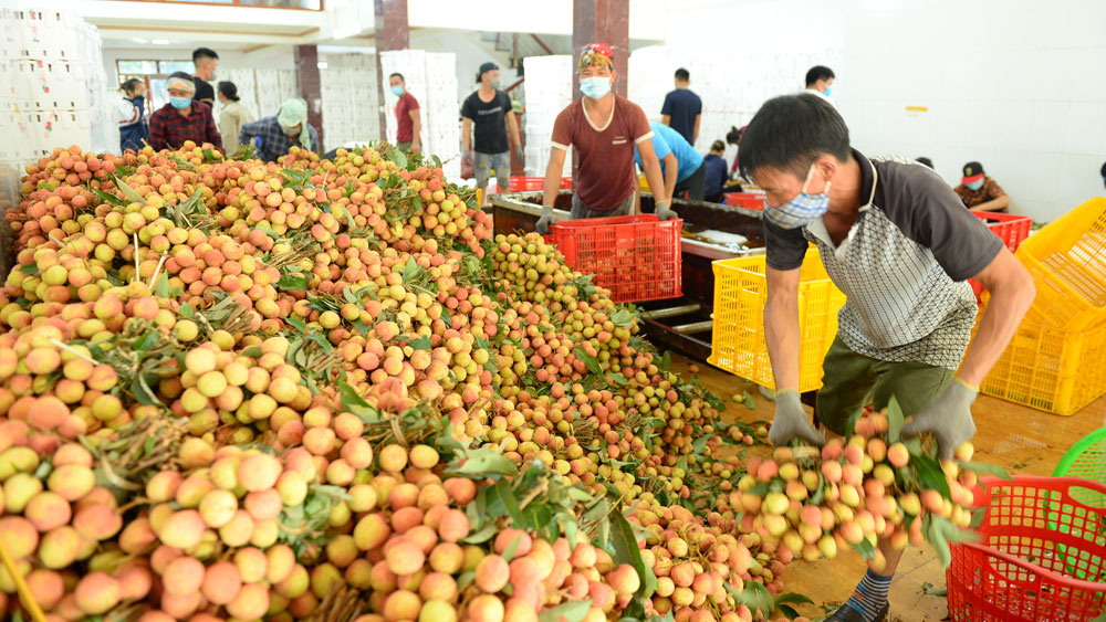 Protecting Luc Ngan lychee area from pandemic