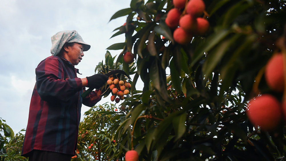 Northern province seeks ways to sell lychees as Covid hits exports