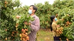 Early ripening lychee in Bac Giang enjoys smooth consumption