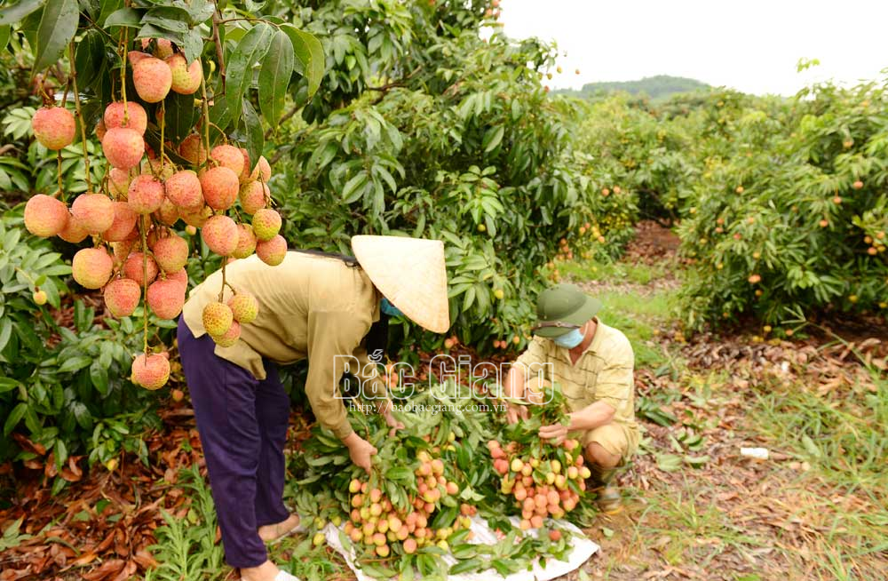 Early ripening lychee, Bac Giang province, smooth consumption, Covid-19 pandemic, China and Japan, Tan Yen lychee