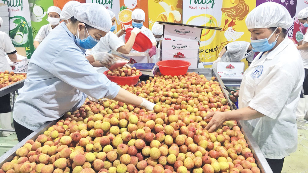 Bac Giang lychees exported to Japan, US