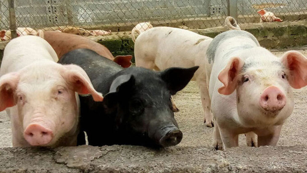 Vietnam, stops live pig imports, Thailand, African swine fever, domestic herds, strict quarantine
