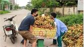 Yên Thế: Doanh nghiệp liên kết tiêu thụ vải thiều cho người dân