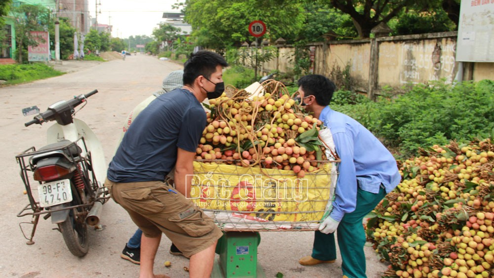 Bac Giang lychees are well consumed
