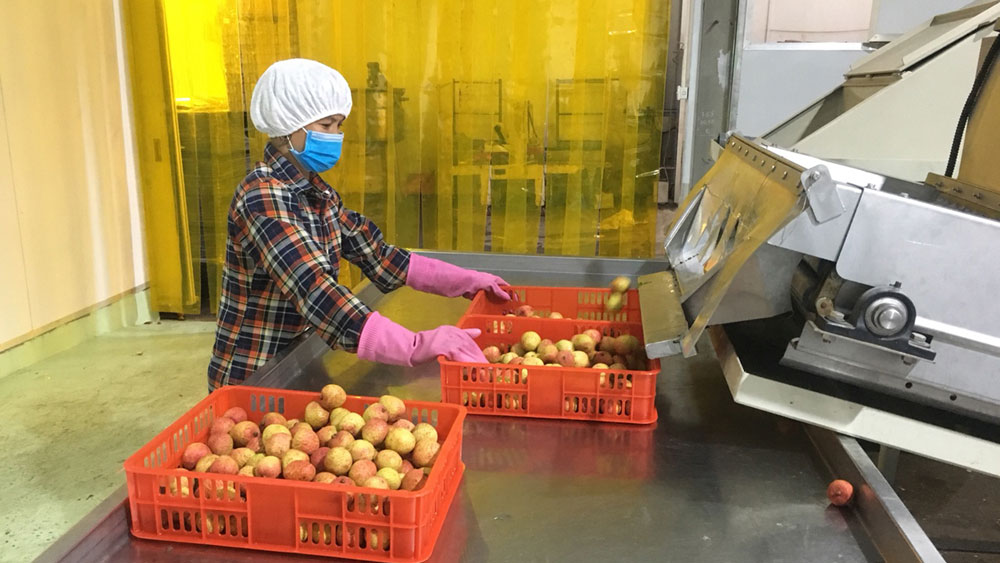 Bac Giang lychees continue to conquer Japanese market