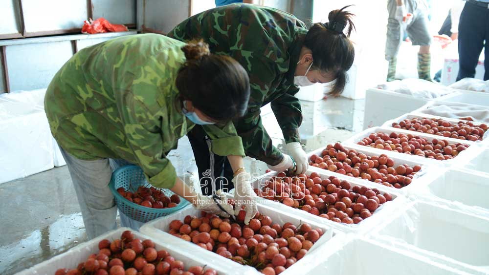 Luc Ngan district, 500 certificates, Covid-19 free lychee, Bac Giang province, Bac Giang lychee, weighting and purchasing points, foreign markets, SARS-CoV-2