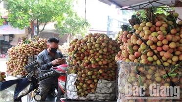 Tân Yên: Giá trị thu nhập từ vải sớm ước đạt hơn 290 tỷ đồng