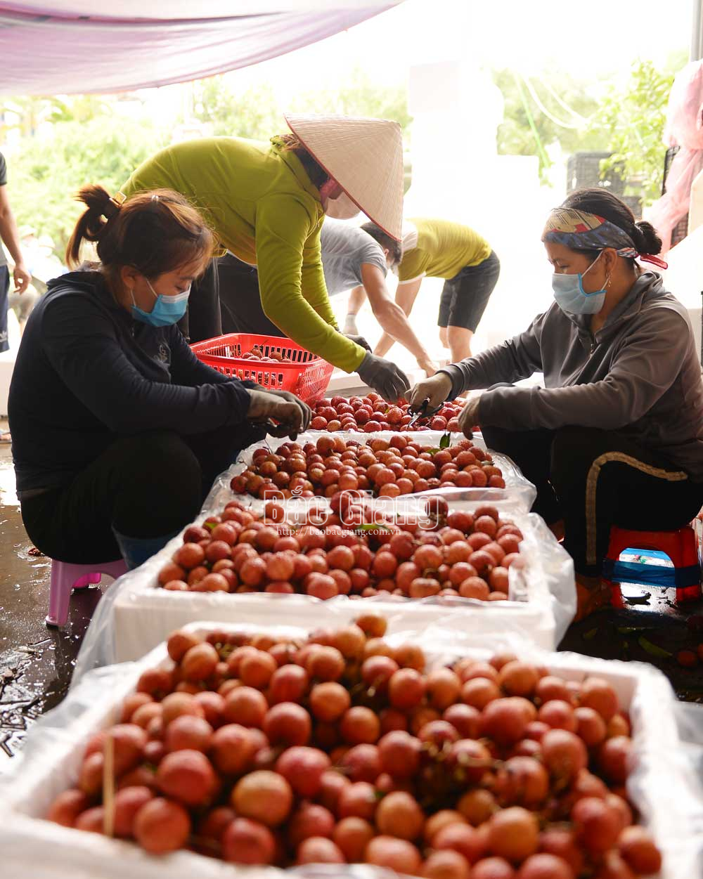 Luc Ngan, Bac Giang province, daily exports, 150 tonnes of lychee, Cambodian market, weighting points, early ripening lychee
