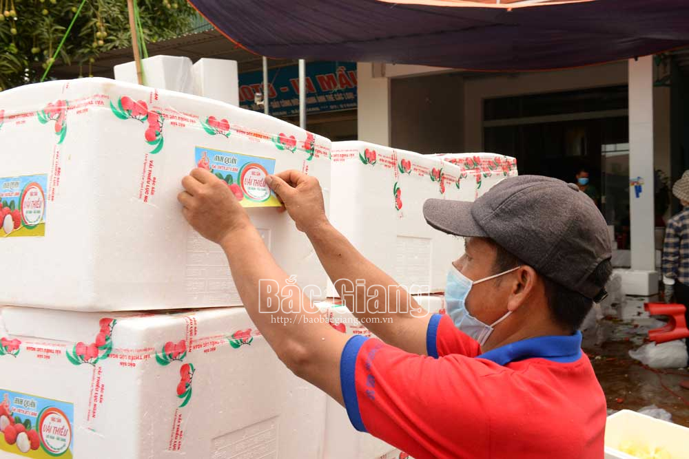 Luc Ngan daily exports about 150 tonnes of lychee to Cambodia