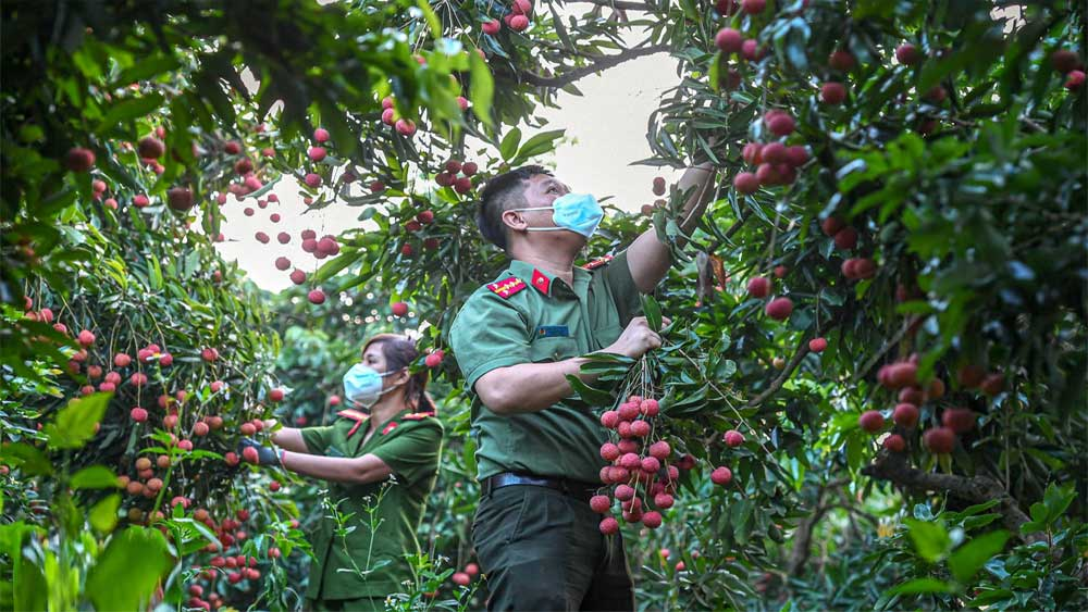 Công an huyện Lục Ngạn leo đồi, đi thuyền giúp nông dân thu hoạch vải