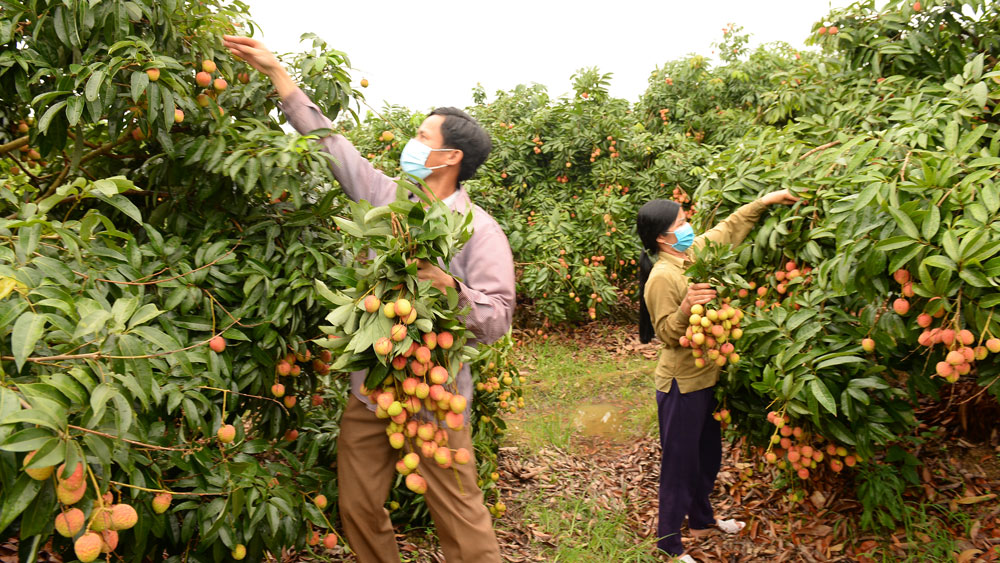 Nearly 50,000 tonnes of Bac Giang lychees sold