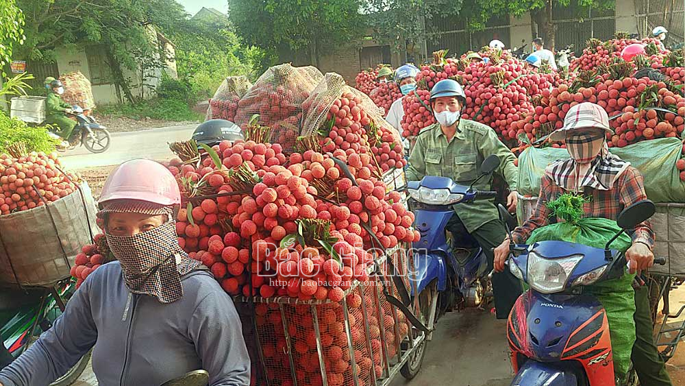 Bac Giang province, early ripening lychee,  exported quantity, 8 countries and region, Luc Ngan lychee, domestic market