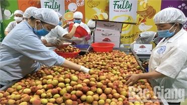 Bắc Giang: Vụ vải thiều sớm thắng lợi