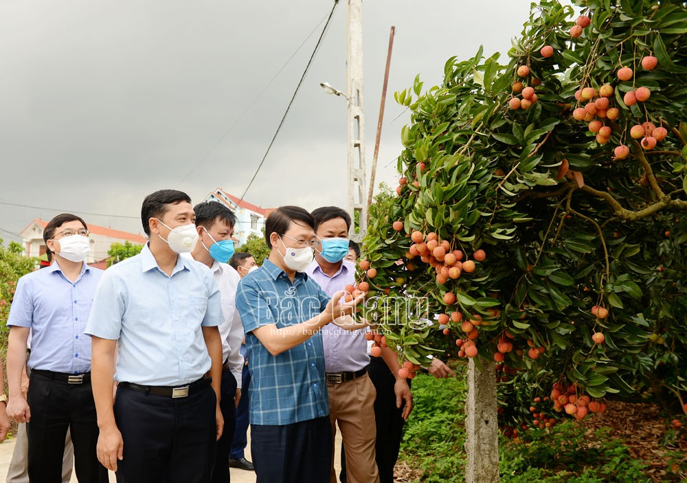 Provincial leader, Le Anh Duong, firmly maintain, disease safety, sell lychee, develop economy, Bac Giang province, Covid-19 prevention and control