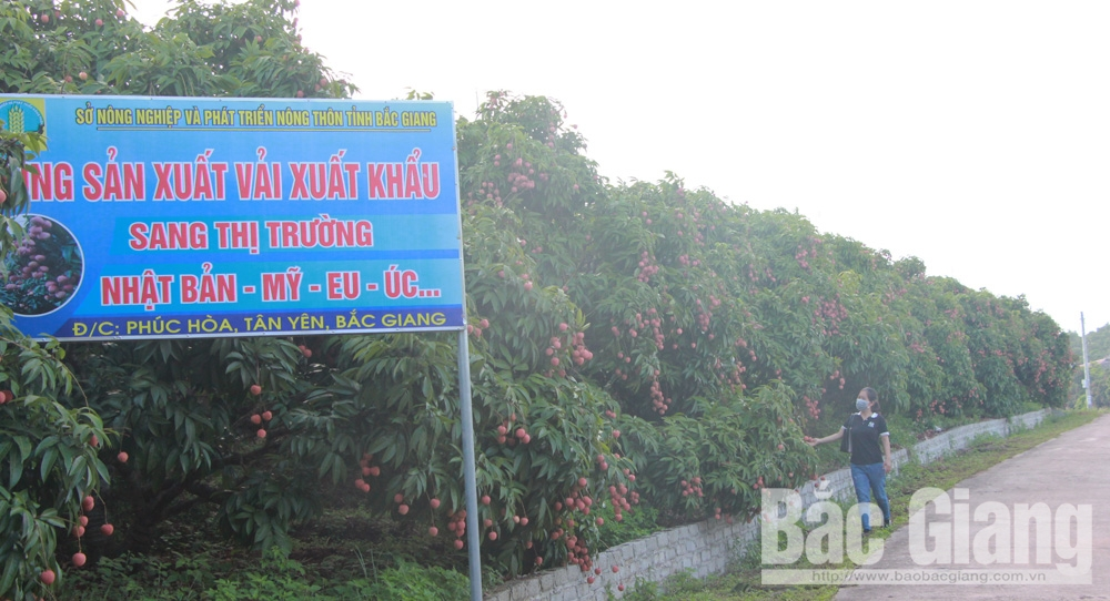 Bac Giang province, successful early-ripening lychee crop, lychee consumption, Covid-19 prevention and control, actively prepared measures