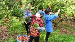 Bắc Giang: Thương nhân Trung Quốc đặt cọc thu mua 30 nghìn tấn vải thiều