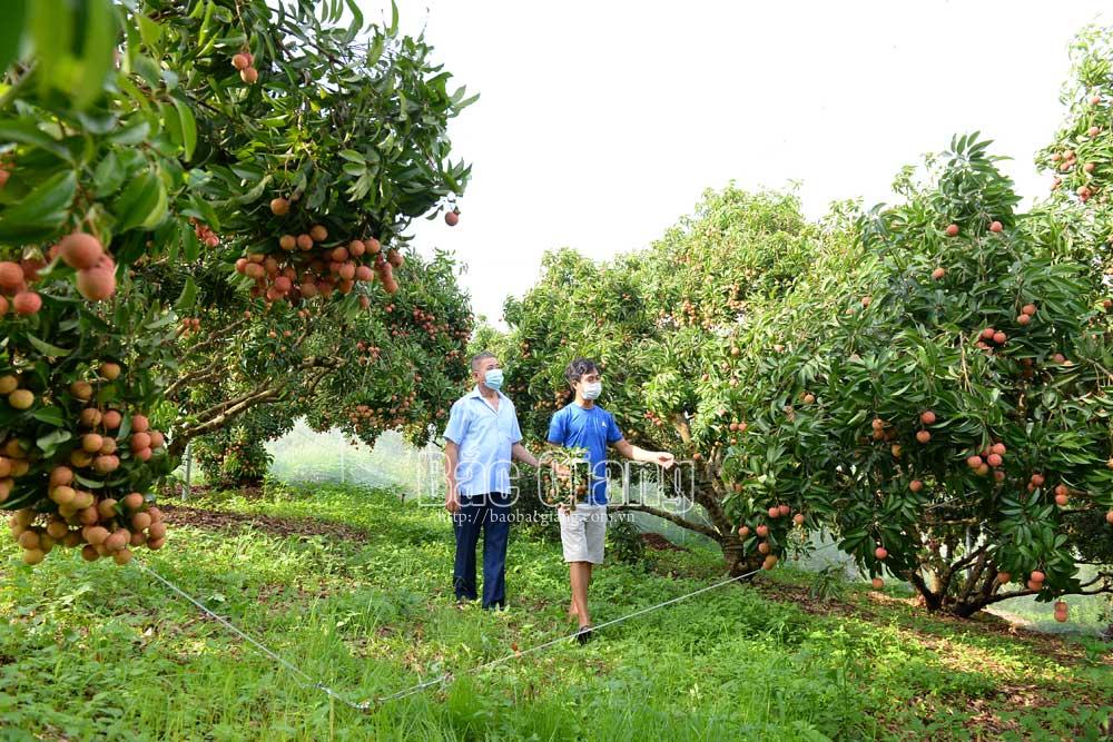vải thiều, Lục Ngạn, Bắc Giang, vườn vải nhiều quả nhất