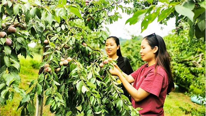 Moc Chau plateau enters plum season
