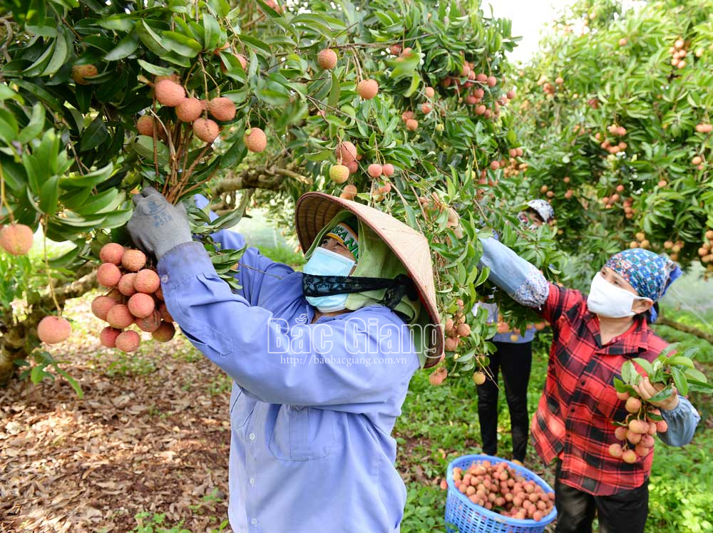 Lychee growers, Bac Giang province, Luc Ngan district, many creative ways, Covid-19 pandemic,  specialty fruit