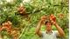 Lychee growers in Luc Ngan boast many creative ways