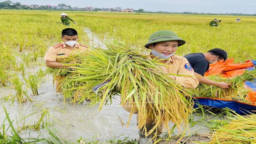 Công an huyện Yên Dũng giúp gia đình bị cách ly y tế thu hoạch lúa.