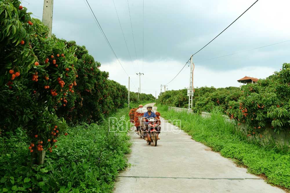 Vùng vải xuất khẩu xã Quý Sơn. Ảnh: Thế Đại