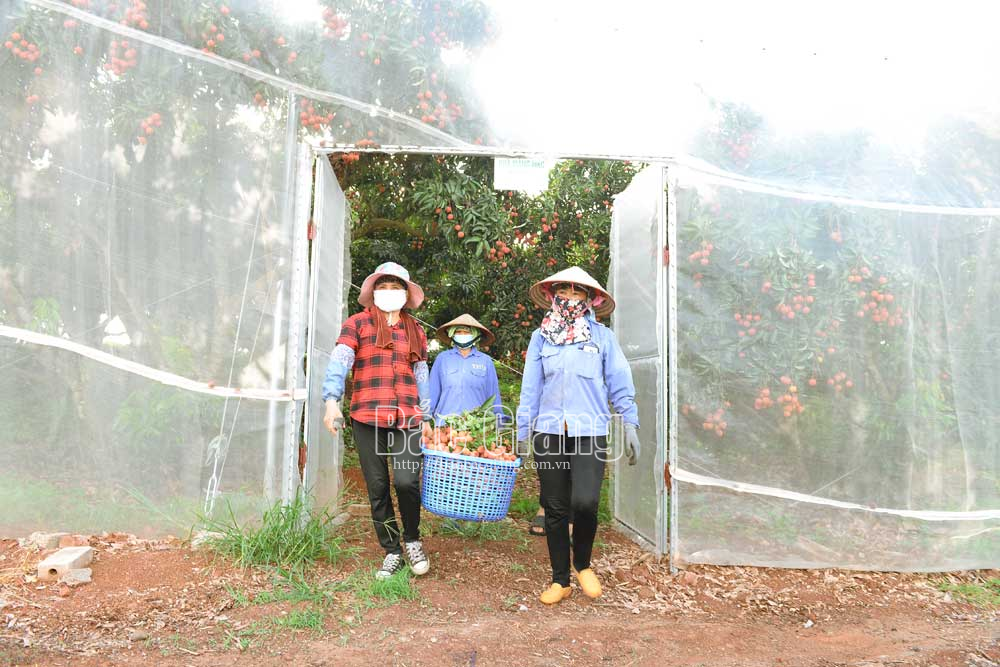 Vải trồng trong nhà màng có giá bán cao gấp 2 lần vải trồng bình thường. Ảnh: Thế Đại