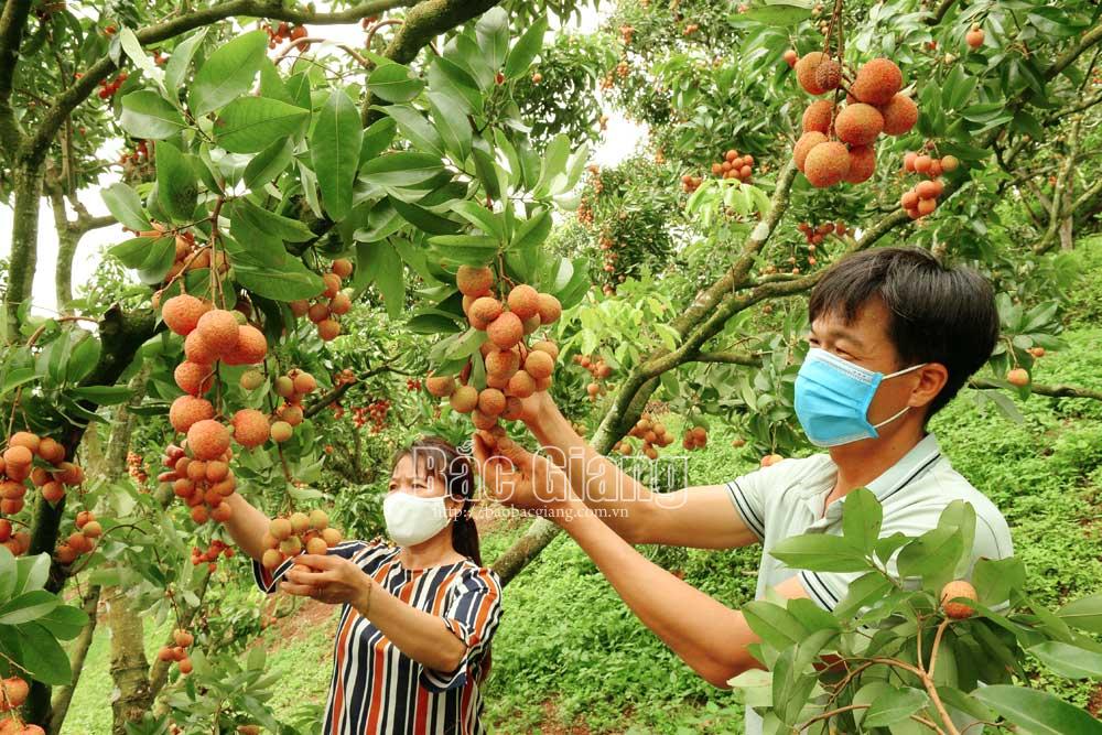 Anh Tô Văn Phú (ảnh), thôn Héo A, xã Hộ Đáp áp dụng kỹ thật cho vải ra quả từ thân cây. Ảnh: Thế Đại