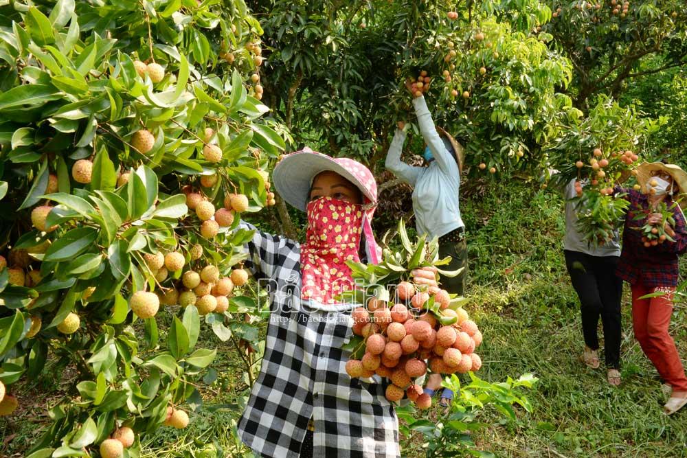 Chi hội Nông dân thôn Thượng Phương Sơn giúp gia đình hội viên bị cách ly y tế thu hoạch vải thiều. Ảnh: Thế Đại
