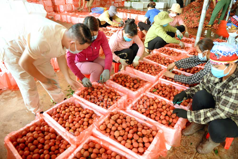 Đại diện thương nhân Trung Quốc tại Việt Nam hướng dẫn nhân công đóng gói vải xuất khẩu. Ảnh: Thế Đại