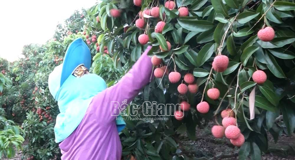 Luc Ngan, exports lychees, export to Europe, Bac Giang province, Luc Ngan lychee,  EU-Vietnam Free Trade Agreement