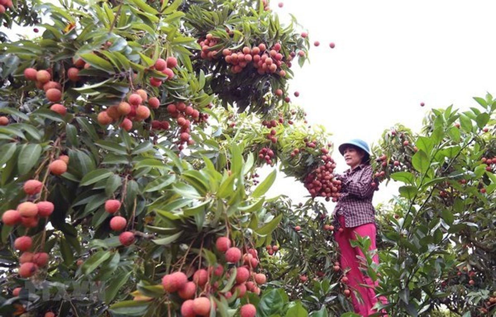 Bac Giang province, compiles three scenarios, lychee consumption, Covid-19 pandemic, kingdom of lychee, official trade channels, GlobalGAP standards