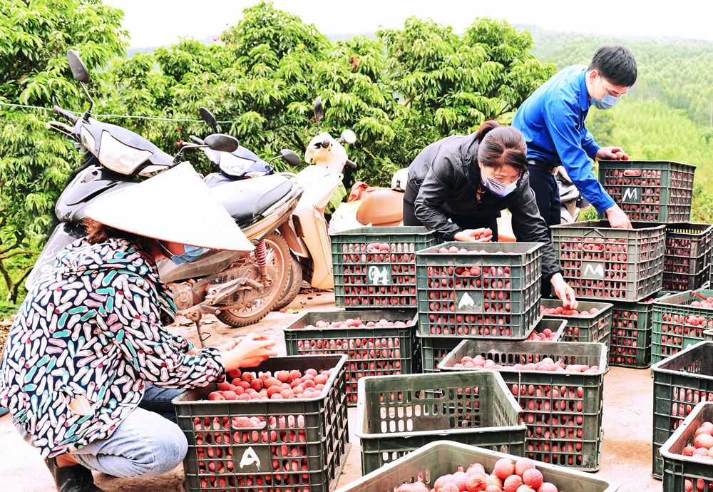 Lychee's journey to abroad, Bac Giang province, Covid-19 pandemic, Japanese requirement, Covid-19 free products