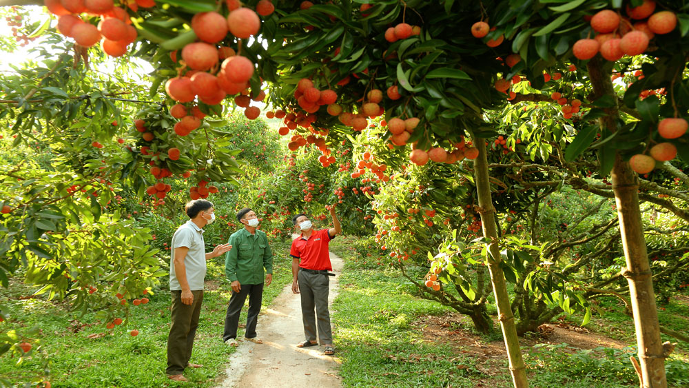 Lychee crop 2021, Promoting flexible connections, tapping markets, Bac Giang province, Bac Giang lychee, complicated developments, Covid-19 pandemic