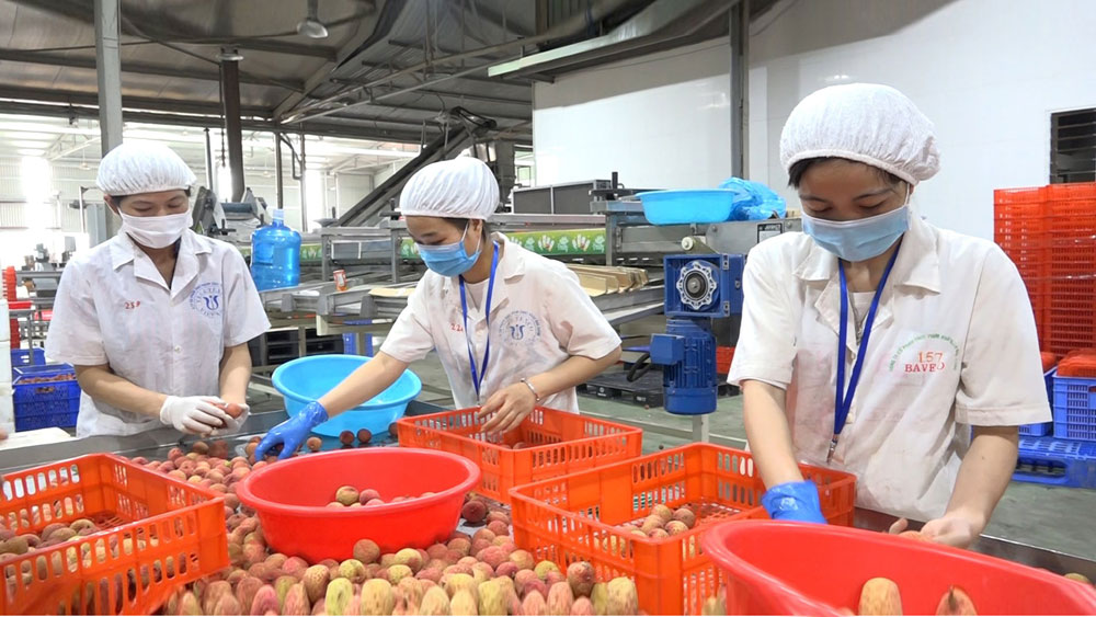 2021 lychee season, success in hard time, Bac Giang province, Covid-19 pandemic, Luc Ngan lychee, import and export