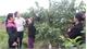 Guava in Trung village qualified with VietGAP standard