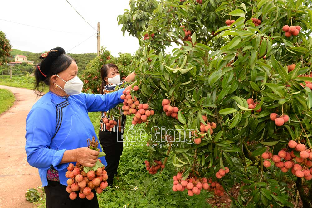 Luc Ngan ends lychee season earlier with smooth consumption
