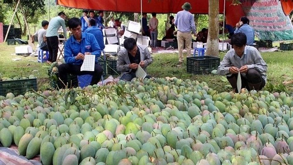 Son La mangoes exported to Australia
